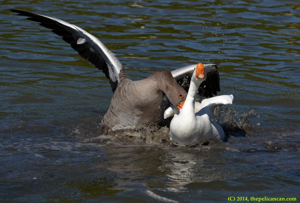 Geese attempt to mate at White Rock Lake in Dallas, TX