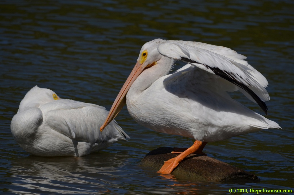 American white pelican (Pelecanus erythrorhynchos) steps off a log to swim at White Rock Lake in Dallas, TX