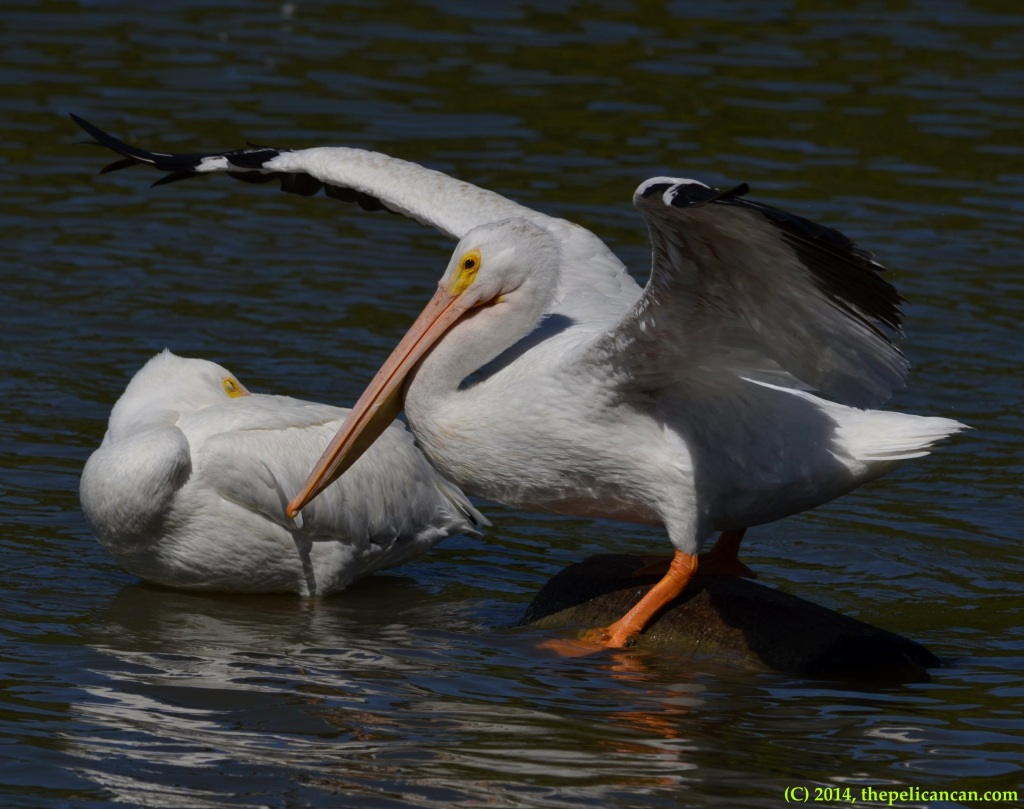 American white pelican (Pelecanus erythrorhynchos) steps off a log to swim at White Rock Lake in Dallas, TX