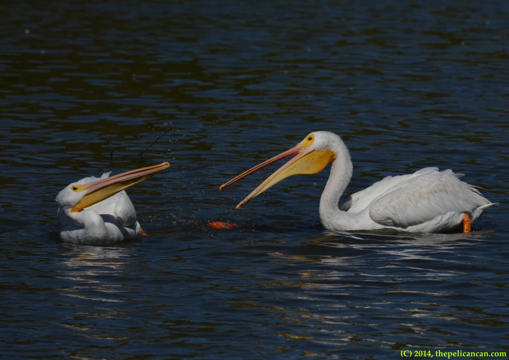 Two American white pelicans (Pelecanus erythrorhynchos) try to pick up a piece of trash to play with it at White Rock Lake in Dallas, TX