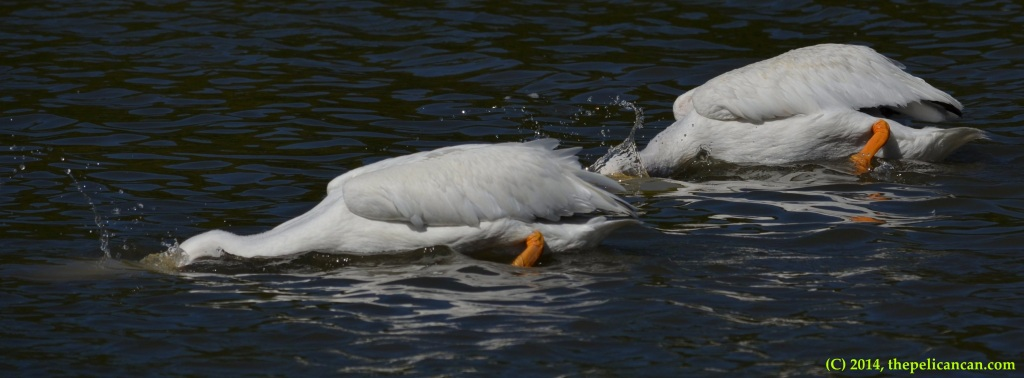 Two American white pelicans (Pelecanus erythrorhynchos) plunge their heads underwater as they hunt for fish at White Rock Lake in Dallas, TX