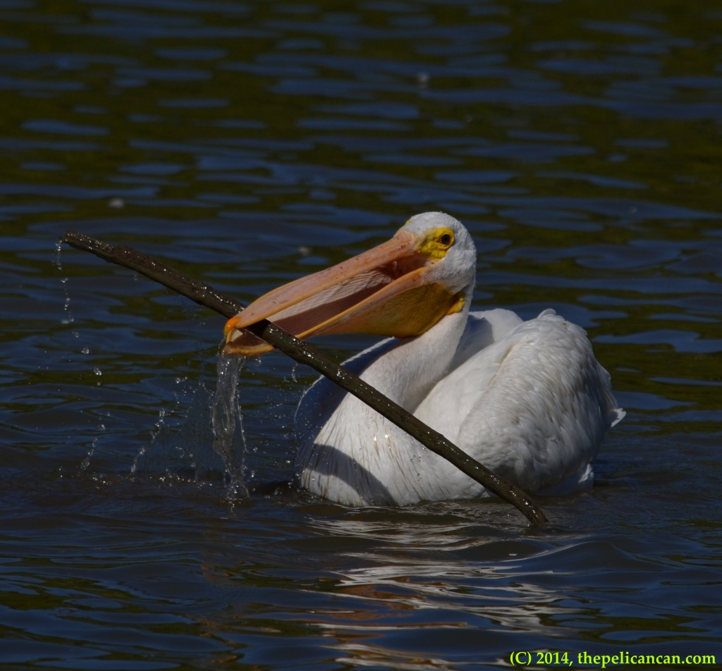 American white pelican (Pelecanus erythrorhynchos) plays with a stick at White Rock Lake in Dallas, TX