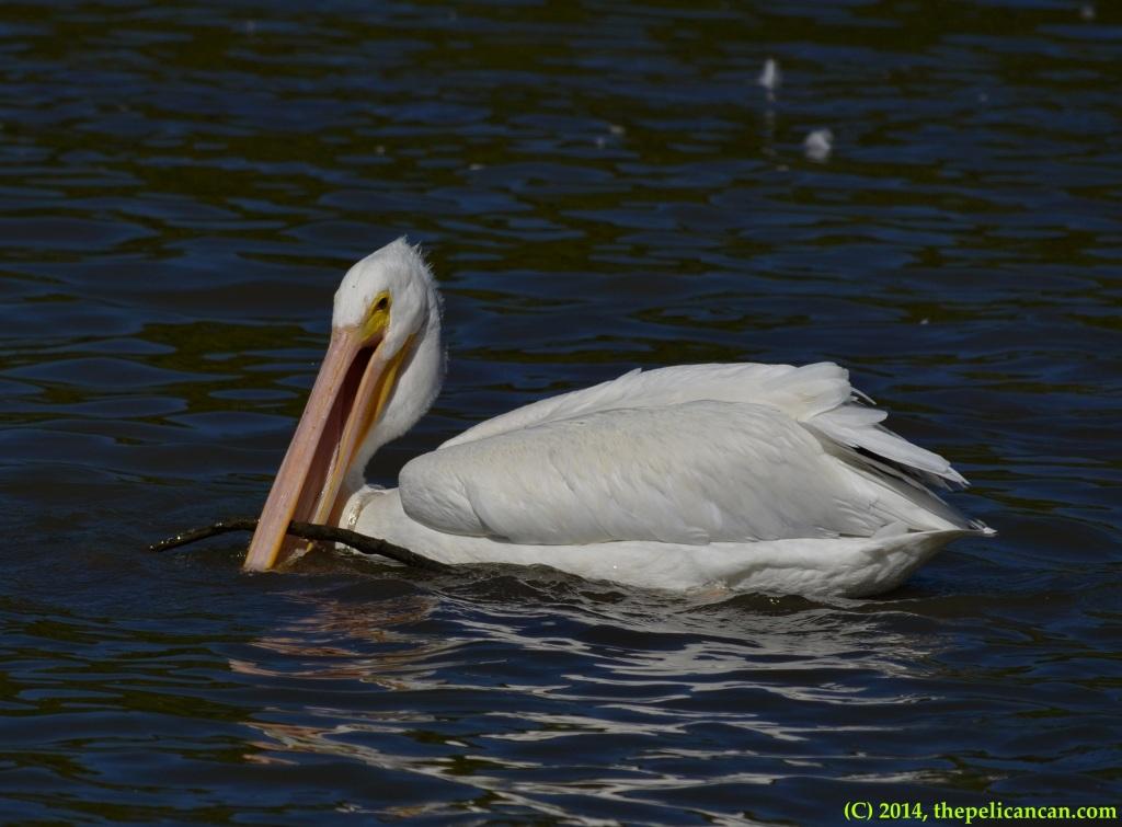 American white pelican (Pelecanus erythrorhynchos) picks up a stick at White Rock Lake in Dallas, TX