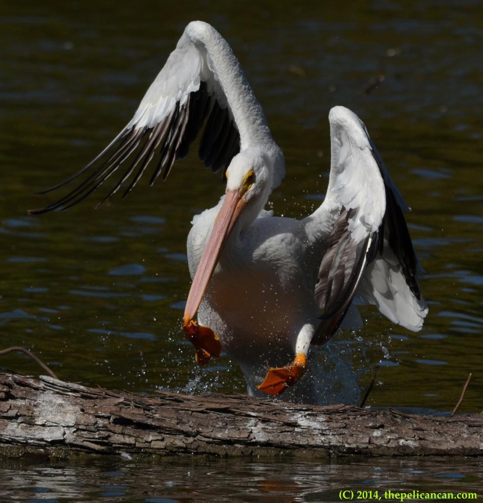 American white pelican (Pelecanus erythrorhynchos) jumps onto a log at White Rock Lake in Dallas, TX