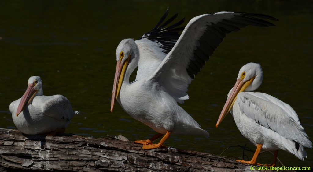 Three American white pelicans (Pelecanus erythrorhynchos) on a log at White Rock Lake in Dallas, TX