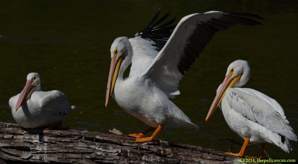 Three American white pelicans (Pelecanus erythrorhynchos) on a log at White Rock Lake in Dallas, TX