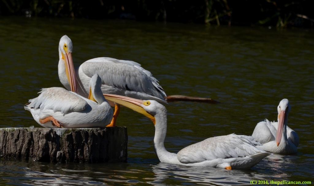 Four American white pelicans (Pelecanus erythrorhynchos) at White Rock Lake in Dallas, TX