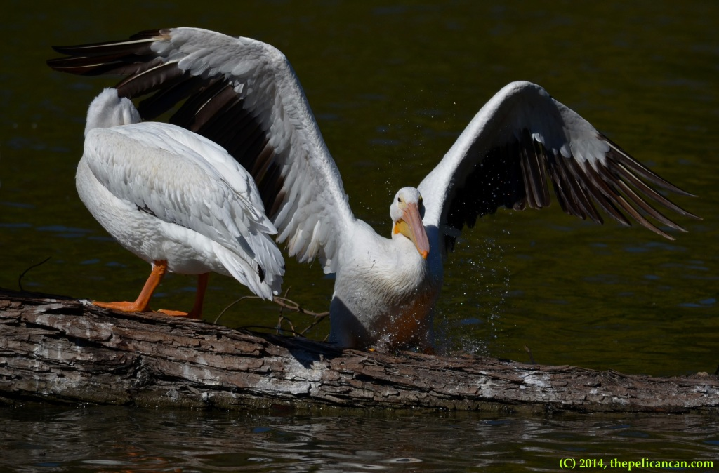 American white pelican (Pelecanus erythrorhynchos) jumps onto a log at White Rock Lake in Dallas, TX
