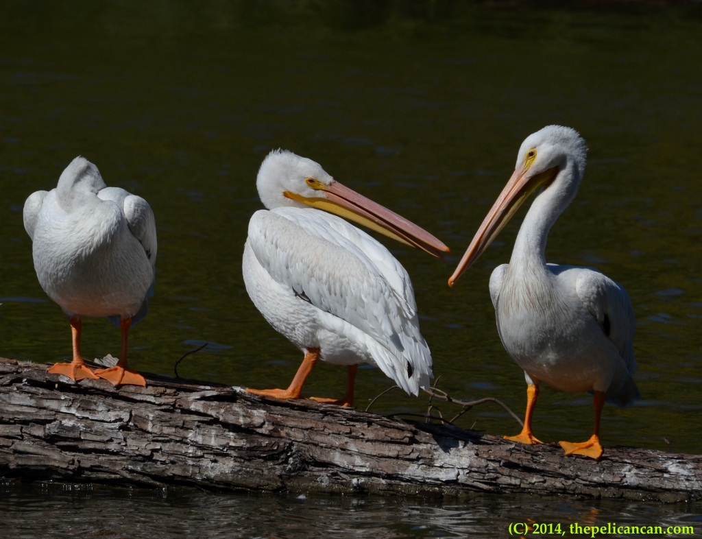 Three American white pelicans (Pelecanus erythrorhynchos) stand on a log at White Rock Lake in Dallas, TX