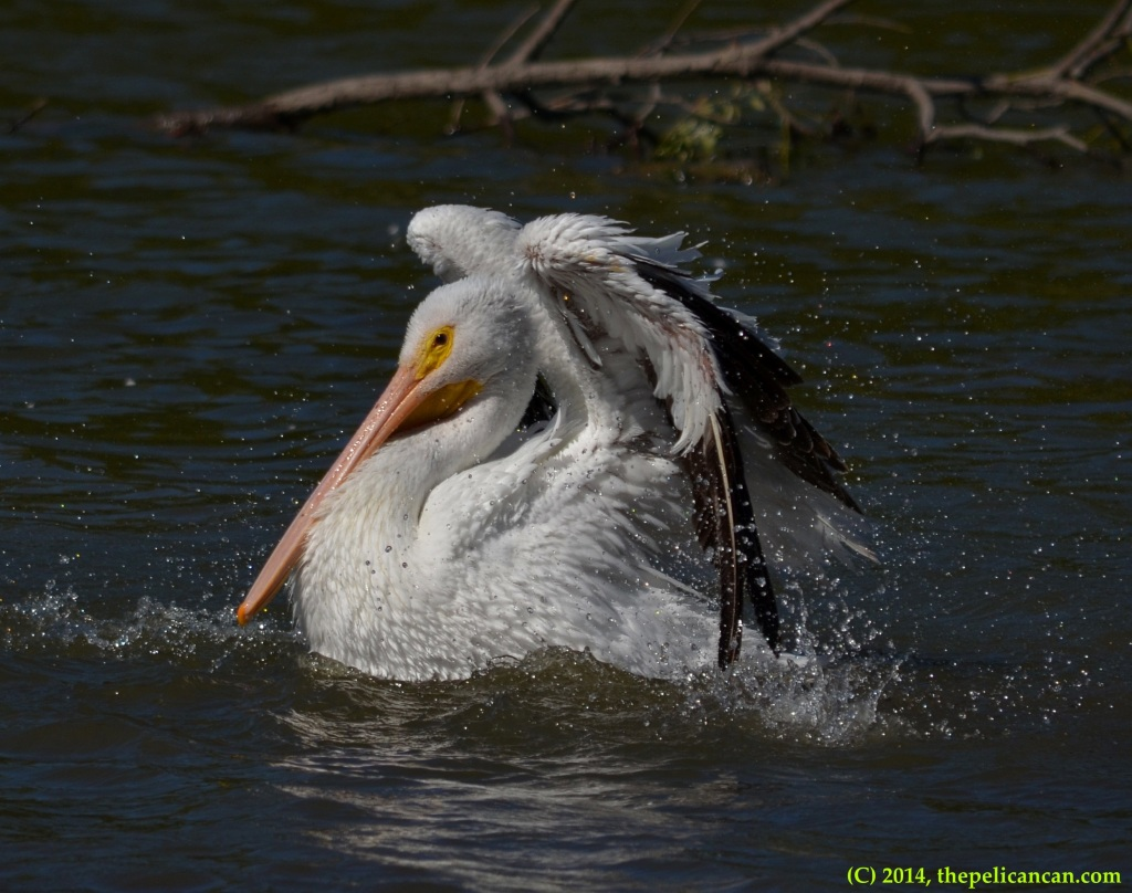 American white pelican (Pelecanus erythrorhynchos) bathes in the water at White Rock Lake in Dallas, TX