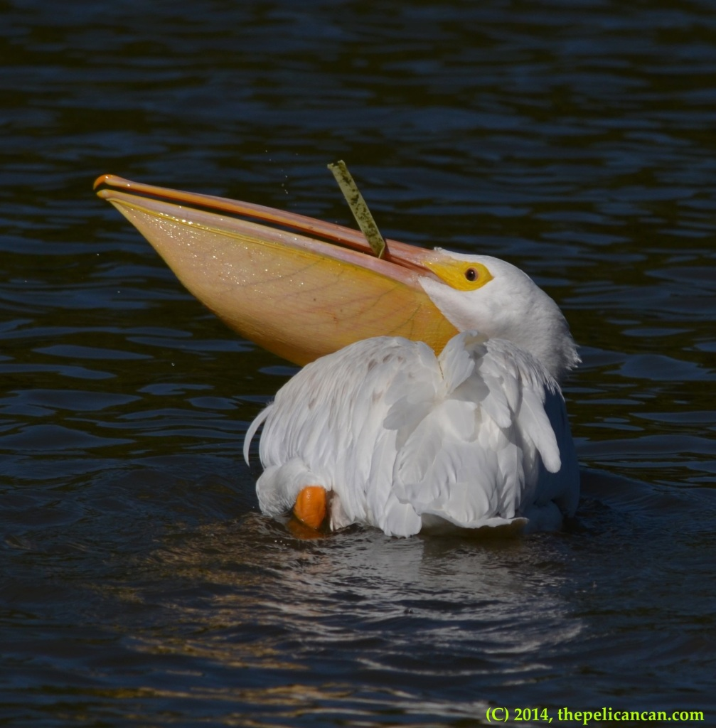 American white pelican (Pelecanus erythrorhynchos) plays with trash at White Rock Lake in Dallas, TX