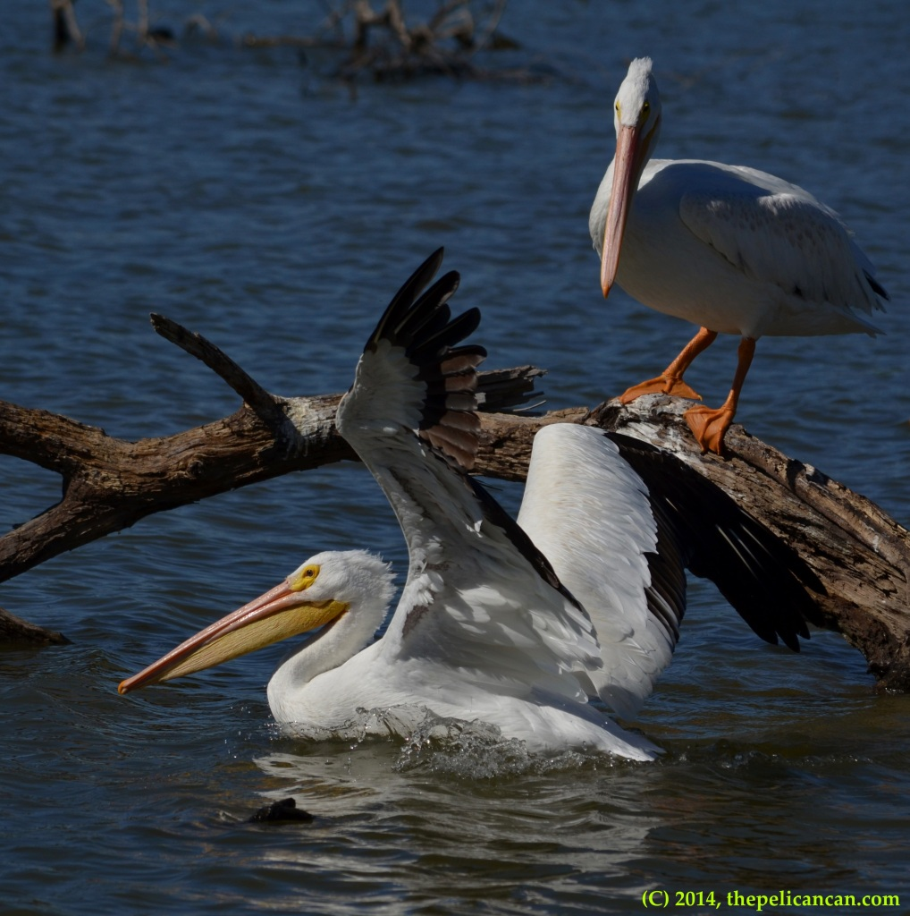 American white pelican (Pelecanus erythrorhynchos) swims away after jumping off a log at White Rock Lake in Dallas, TX