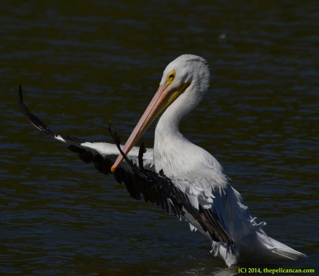 American white pelican (Pelecanus erythrorhynchos) flapping at White Rock Lake in Dallas, TX