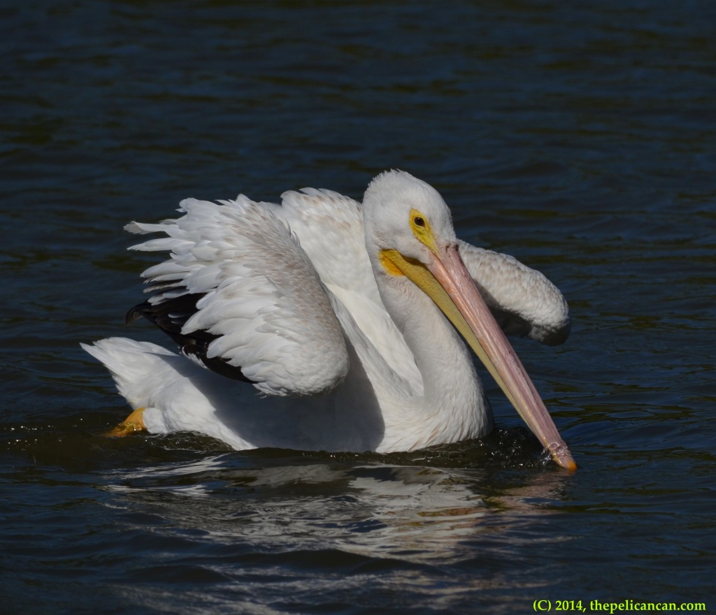 American white pelican (Pelecanus erythrorhynchos) swims at White Rock lake in Dallas, TX