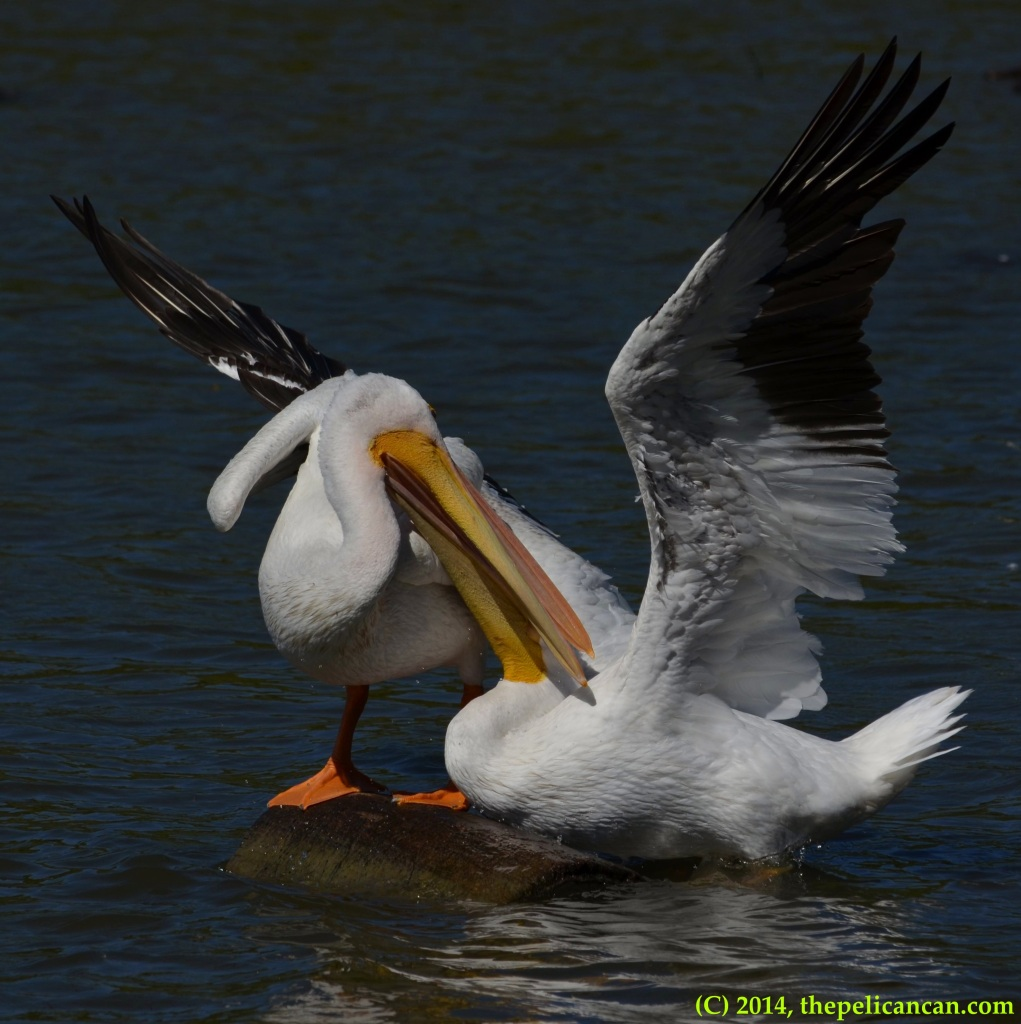 Two American white pelicans (Pelecanus erythrorhynchos) fight for access to a log at White Rock Lake in Dallas, TX