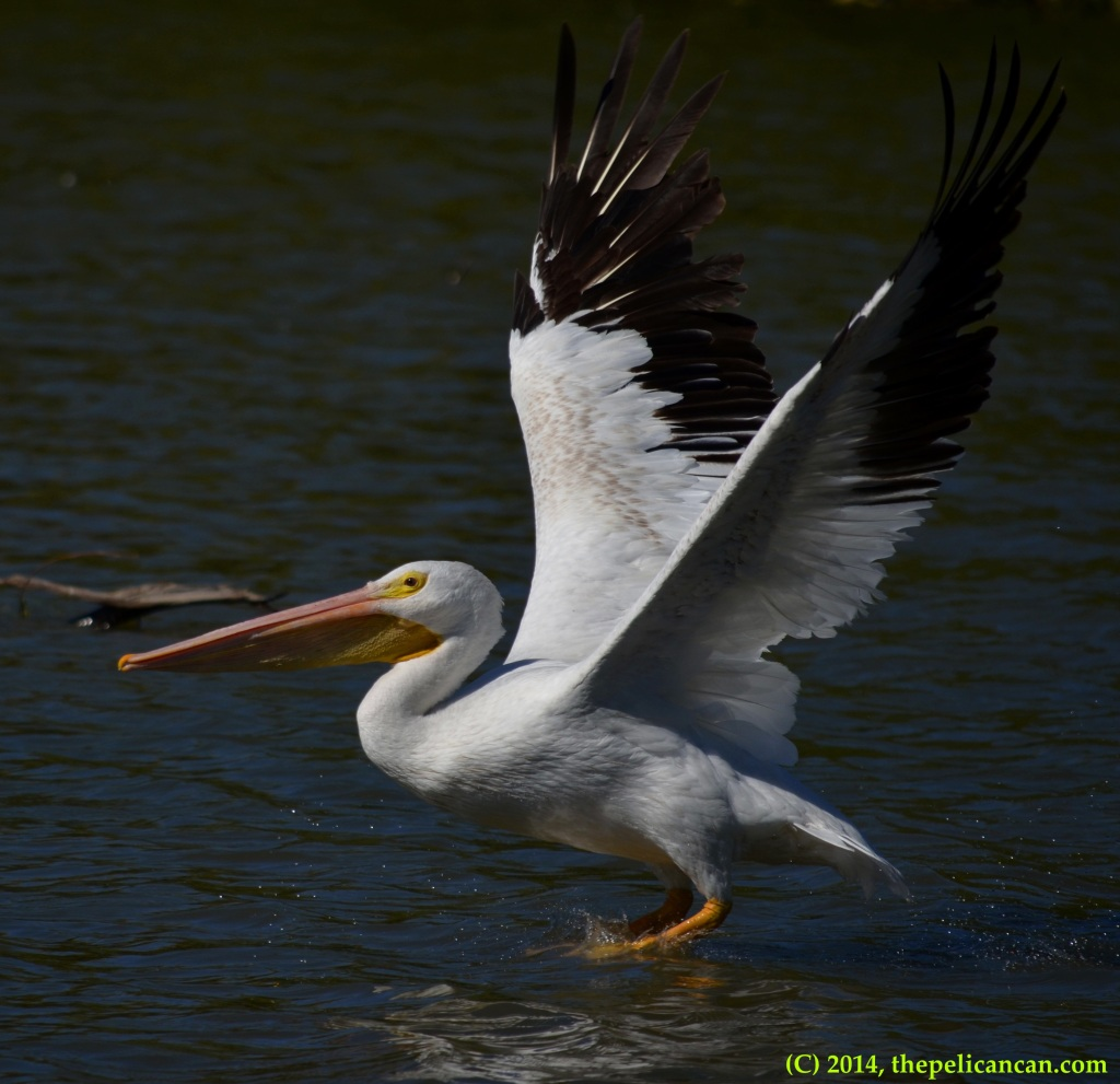American white pelican (Pelecanus erythrorhynchos) takes off from the water at White Rock Lake in Dallas, TX