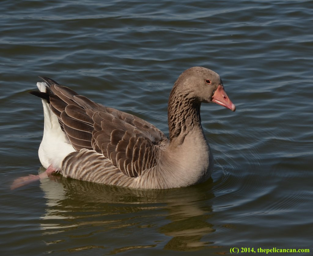 Greylag goose swimming at White Rock Lake in Dallas, TX