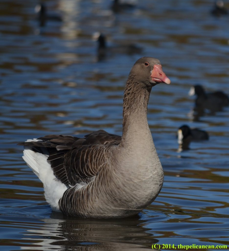 Greylag goose (Anser anser) standing in water at White Rock Lake in Dallas, TX