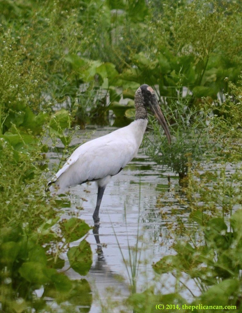 Wood stork (Mycteria americana) standing in wetlands at Richland Creek WMA in Fairfield, Texas