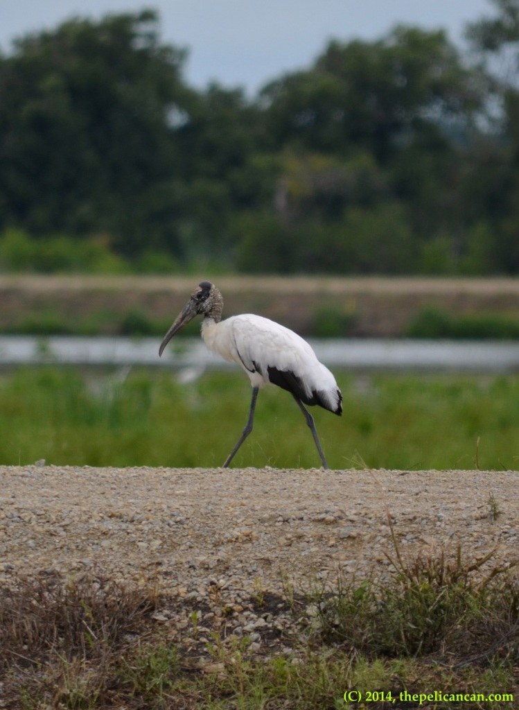 Wood stork (Mycteria americana) standing on a road at Richland Creek WMA in Fairfield, Texas