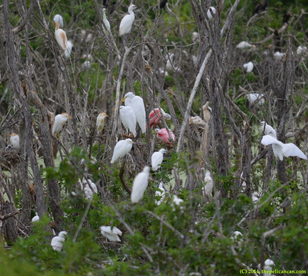 Roseate spoonbills (Platalea ajaja) perch in a tree at Richland Creek WMA in Fairfield, Texas