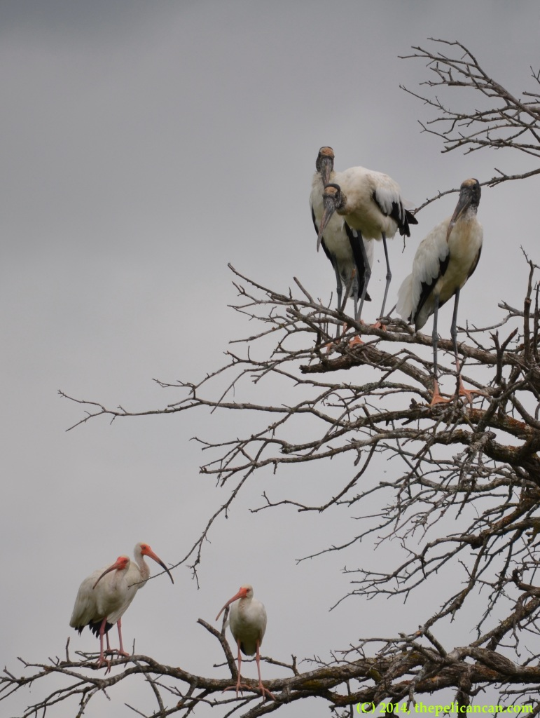 Wood storks (Mycteria americana) and American white ibises (Eudocimus albus) perch in a tree at Richland Creek WMA in Fairfield, Texas