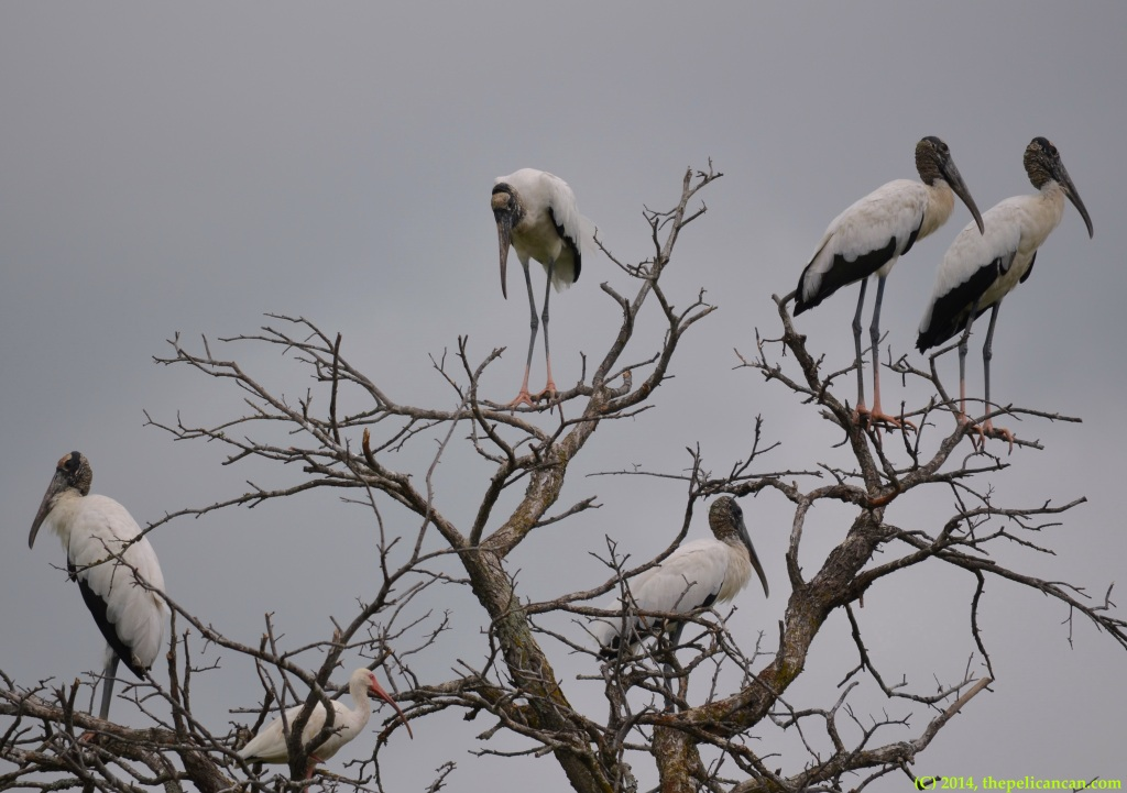 Wood storks (Mycteria americana) and an American white ibis (Eudocimus albus) perch in a tree at Richland Creek WMA in Fairfield, Texas