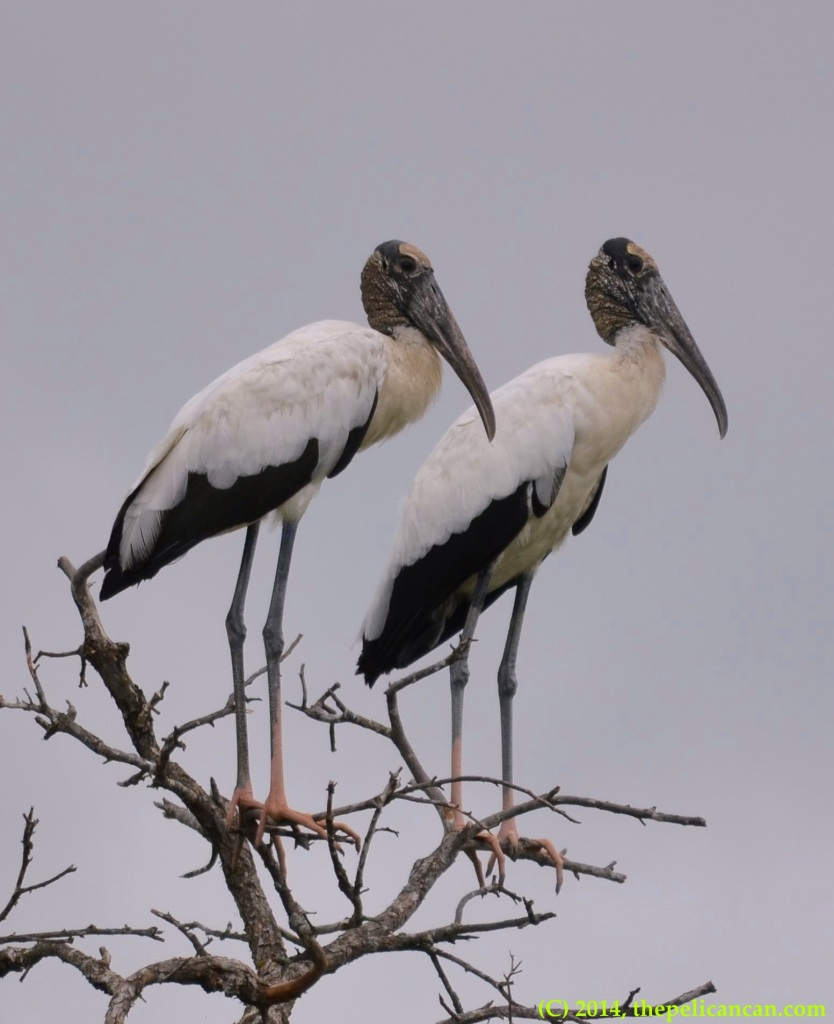 Wood storks (Mycteria americana) perch in a tree at Richland Creek WMA in Fairfield, Texas