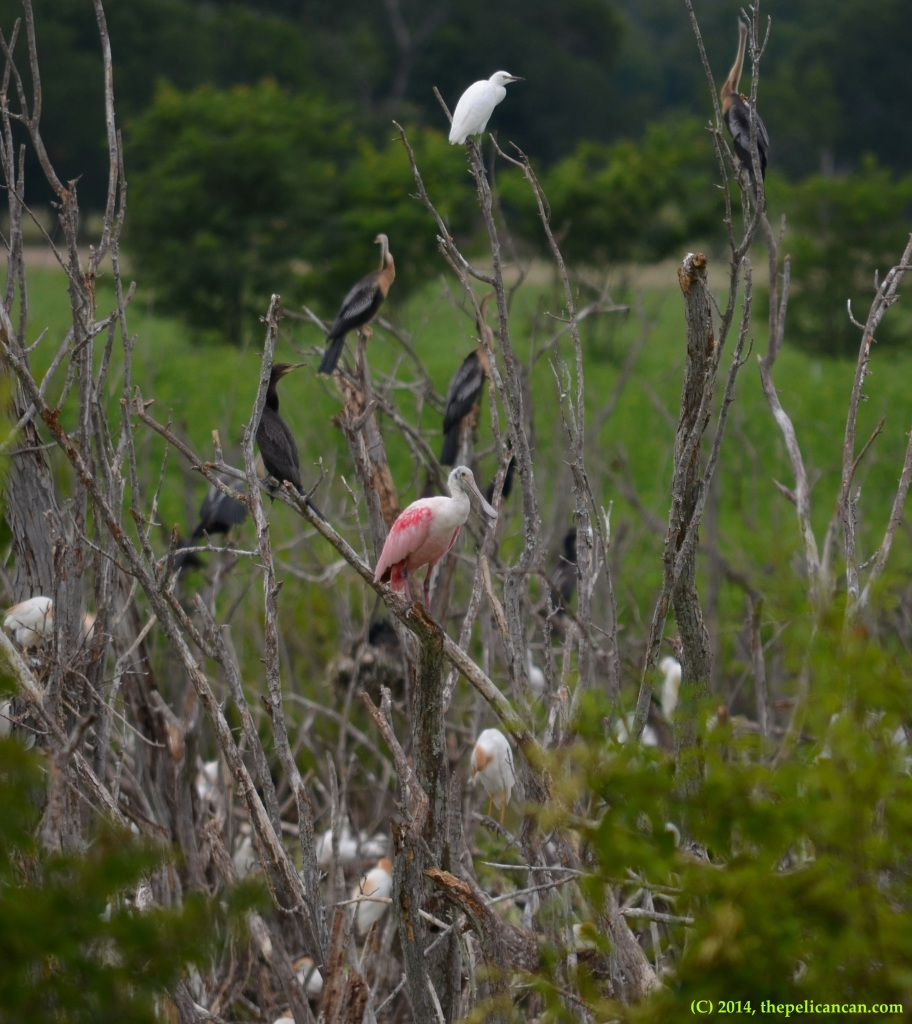 Roseate spoonbill (Platalea ajaja) perches in a tree at Richland Creek WMA in Fairfield, Texas
