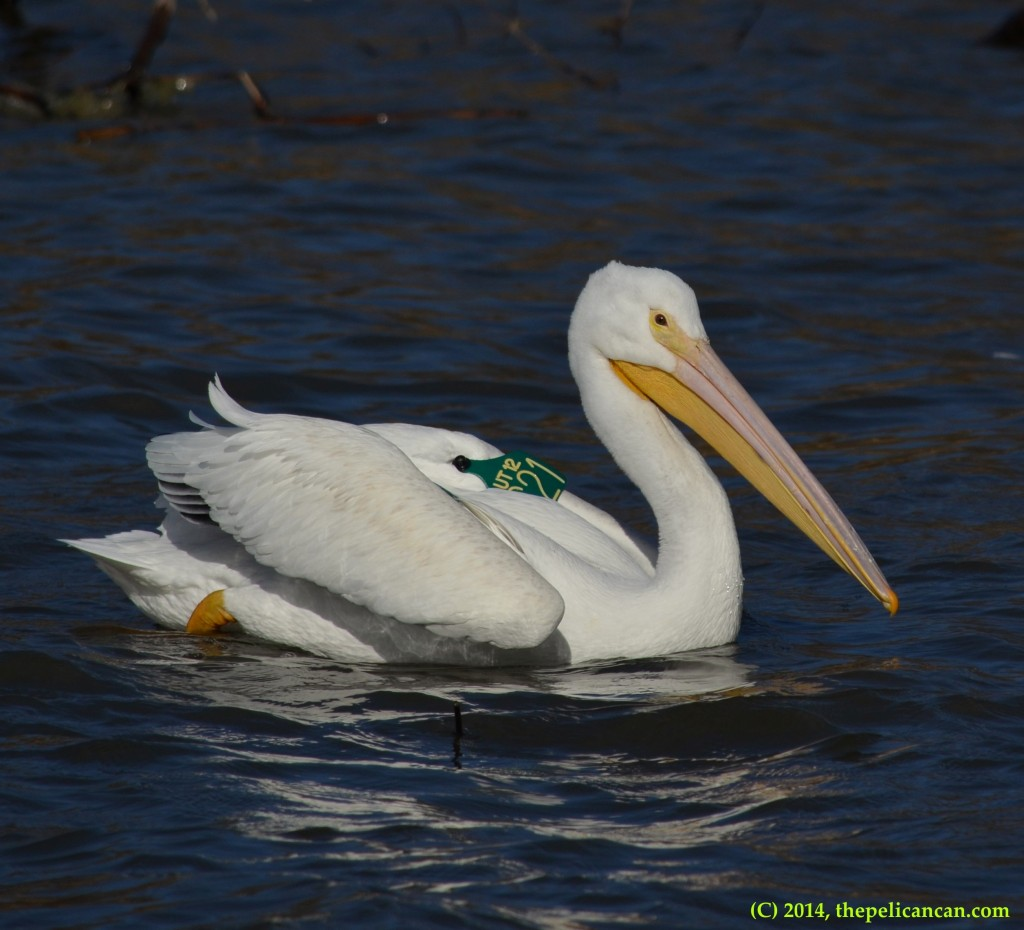 American white pelican (Pelecanus erythrorhynchos) swims after landing at White Rock Lake in Dallas, TX