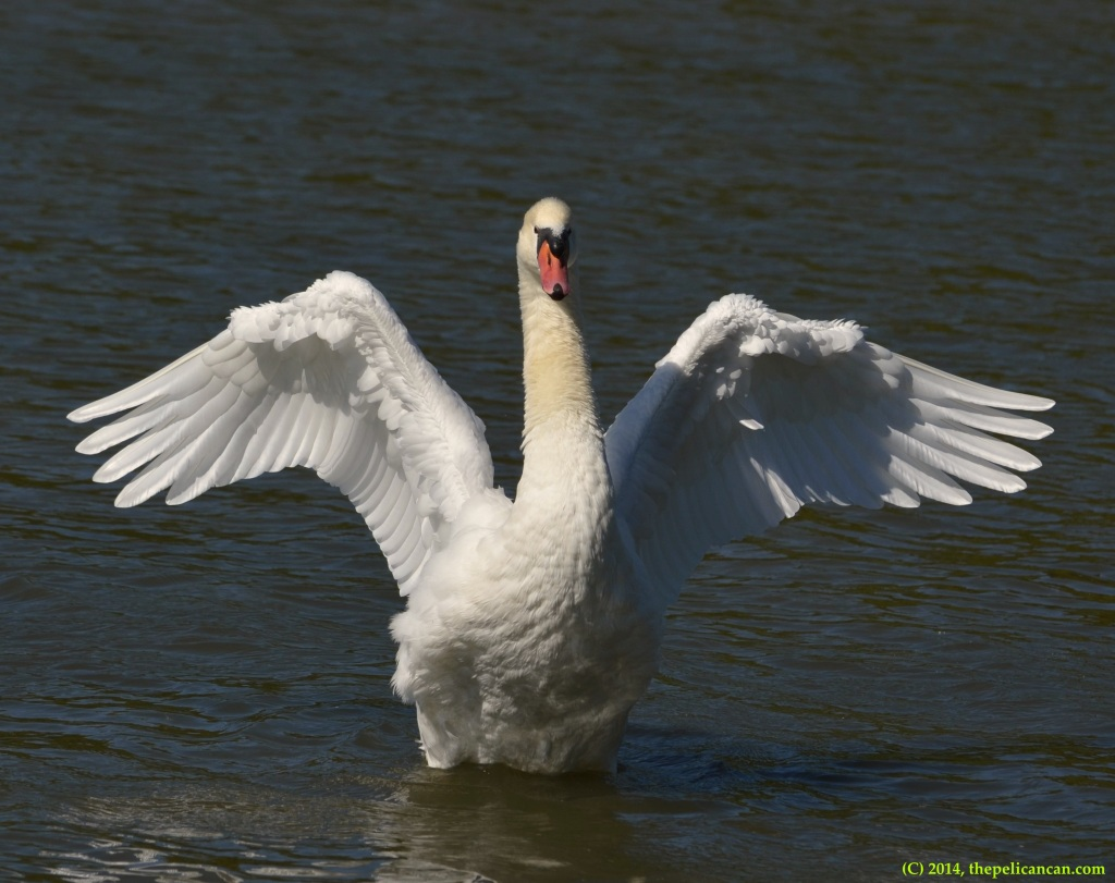 A female mute swan (Cygnus olor) flaps her wings at White Rock Lake in Dallas, TX