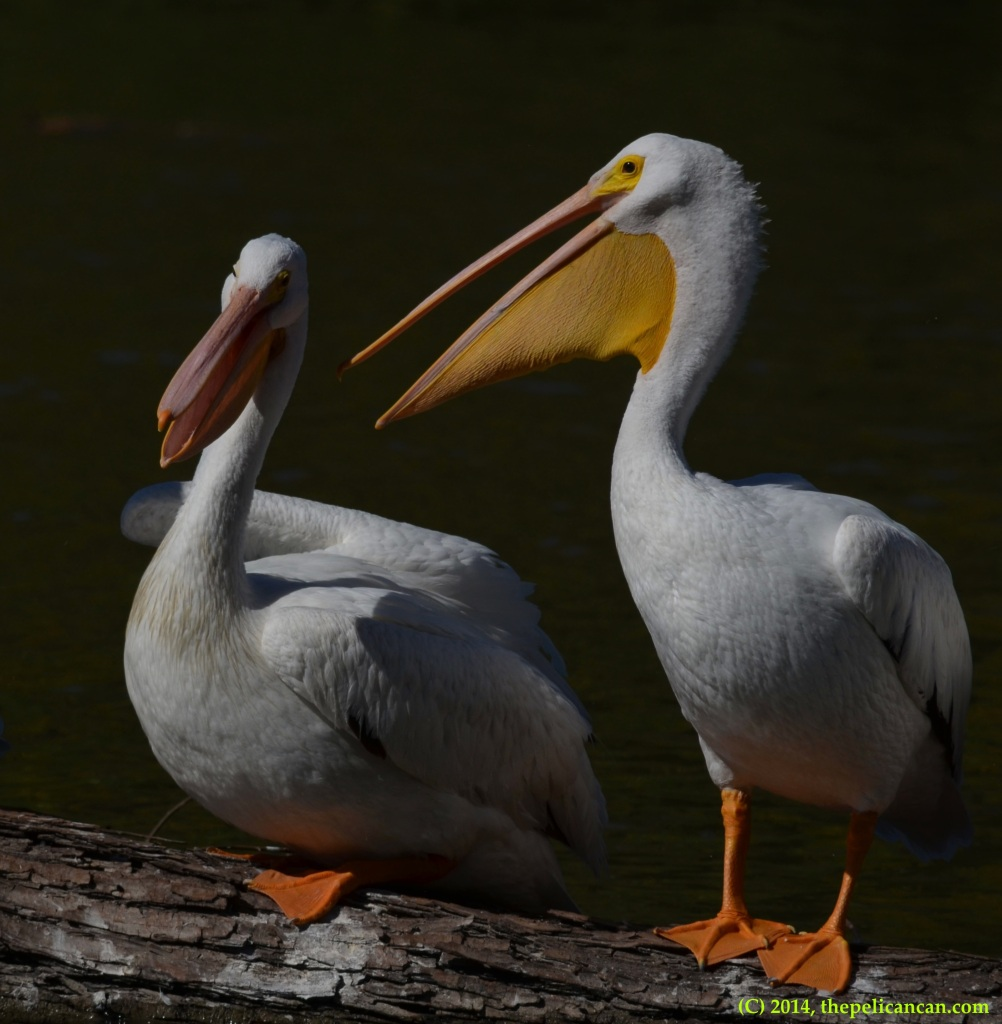 Two American white pelicans (Pelecanus erythrorhynchos) loaf together on a log at White Rock Lake in Dallas, TX