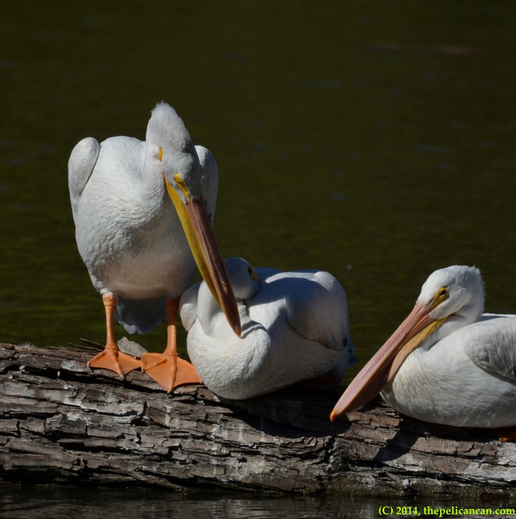American white pelican (Pelecanus erythrorhynchos) preens another pelican as they loaf on a log at White Rock Lake in Dallas, TX