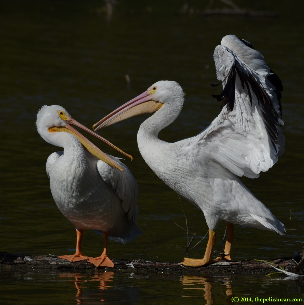 American white pelican (Pelecanus erythrorhynchos) flaps its wings as it stands next to another pelican at White Rock Lake in Dallas, TX