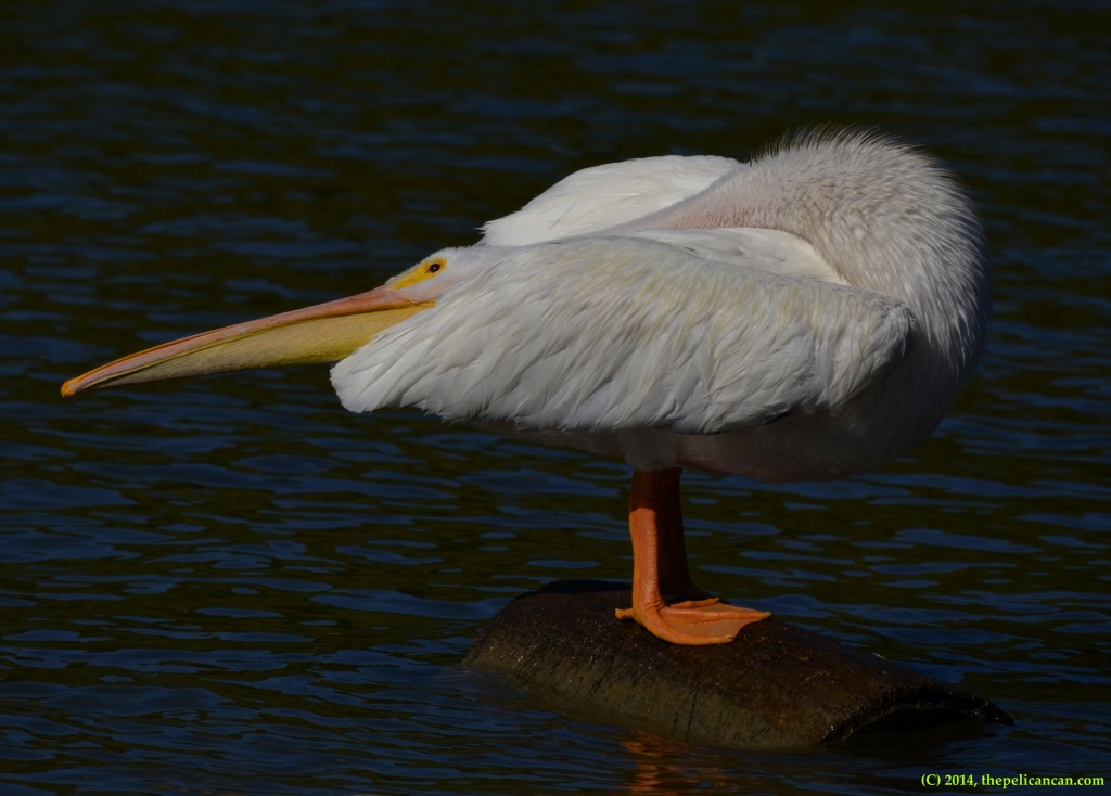 American white pelican (Pelecanus erythrorhynchos) rubbing oil on its feathers at White Rock Lake in Dallas, TX