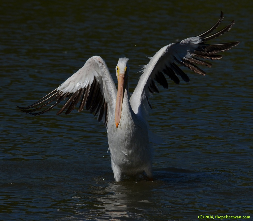 American white pelican (Pelecanus erythrorhynchos) flapping its wings at White Rock Lake in Dallas, TX