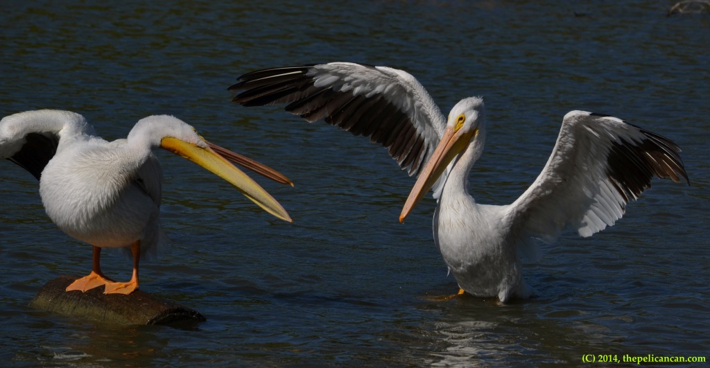 American white pelican (Pelecanus erythrorhynchos) snaps at a rival pelican at White Rock Lake in Dallas, TX