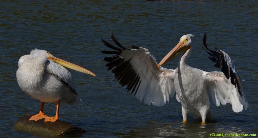 American white pelican (Pelecanus erythrorhynchos) beats its wings at White Rock Lake in Dallas, TX