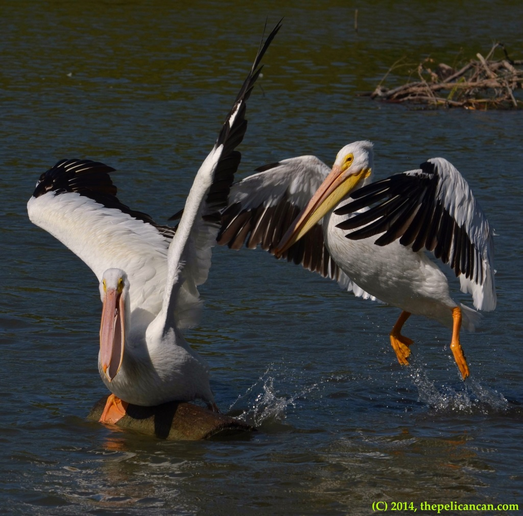 American white pelican (Pelecanus erythrorhynchos) jumps onto an already occupied log at White Rock Lake in Dallas, TX