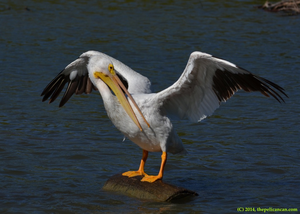 American white pelican (Pelecanus erythrorhynchos) grooms itself after jumping onto a log at White Rock Lake in Dallas, TX