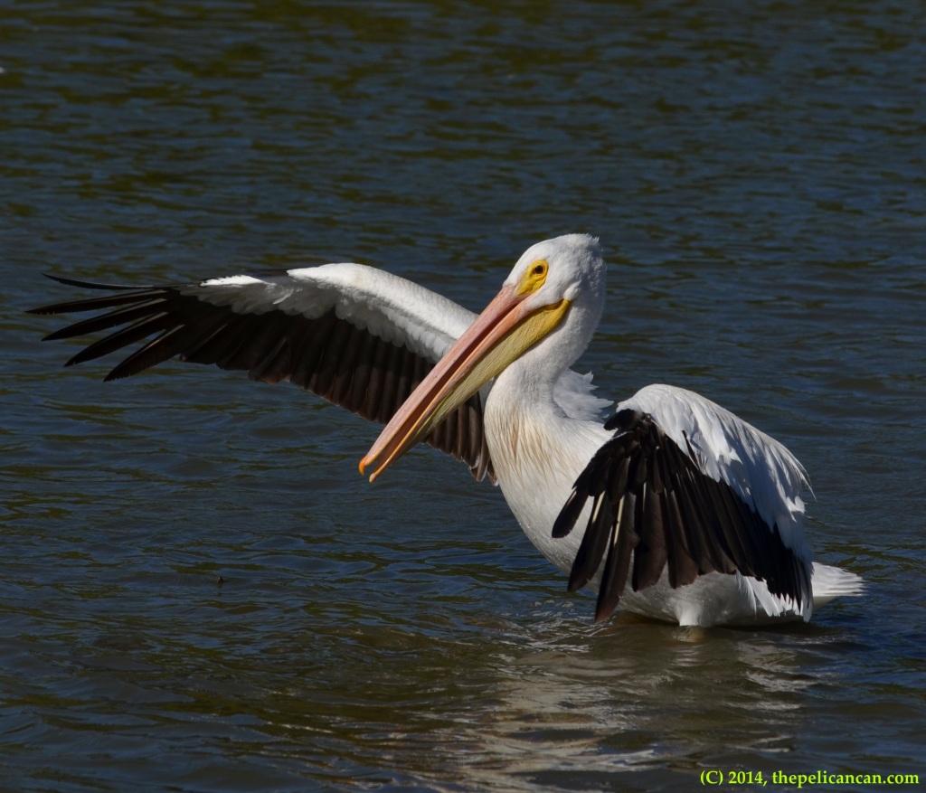 American white pelican (Pelecanus erythrorhynchos) flaps its wings at White Rock Lake in Dallas, TX