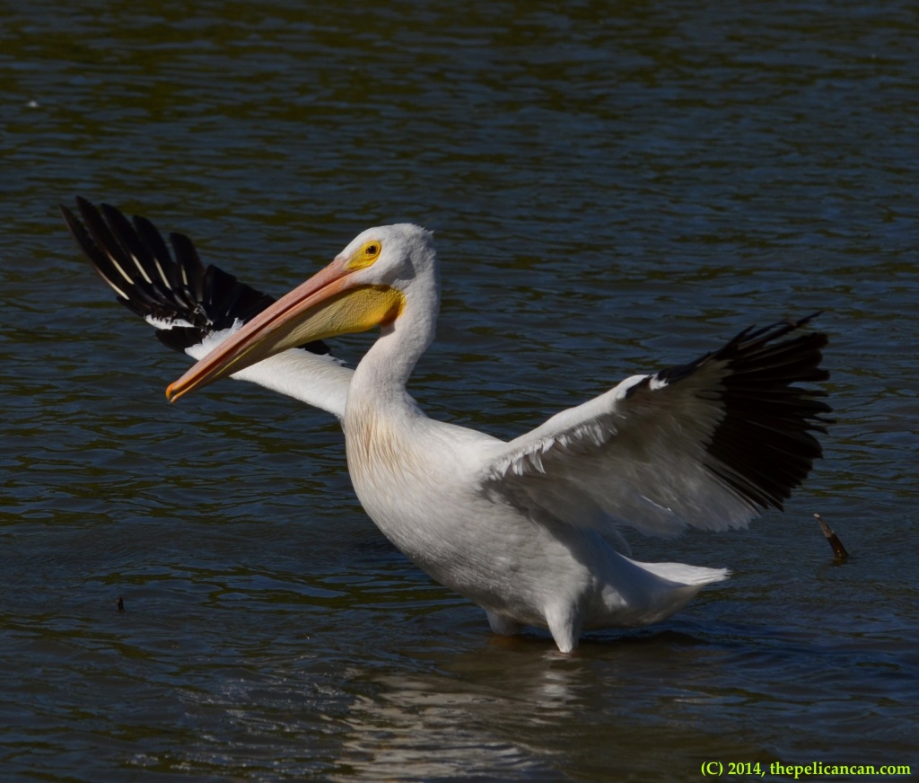 American white pelican (Pelecanus erythrorhynchos) flaps its wings at White Rock Lake in Dallas, TX
