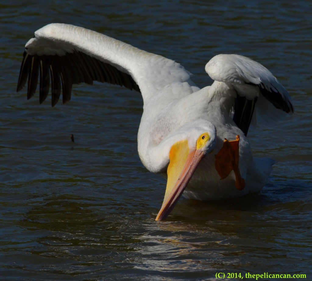 American white pelican (Pelecanus erythrorhynchos) scratching at White Rock Lake in Dallas, TX