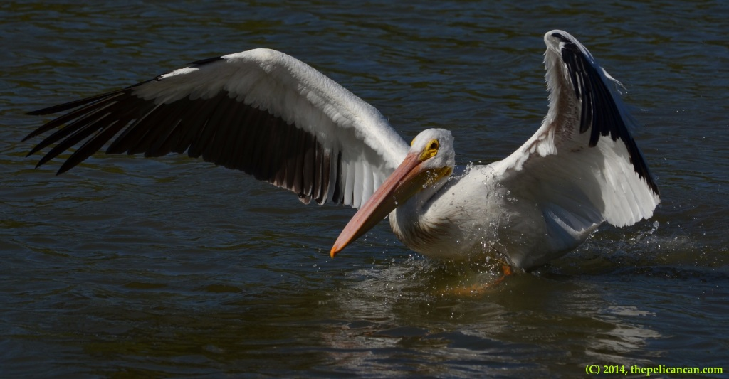American white pelican flapping her wings while walking at White Rock Lake in Dallas, TX