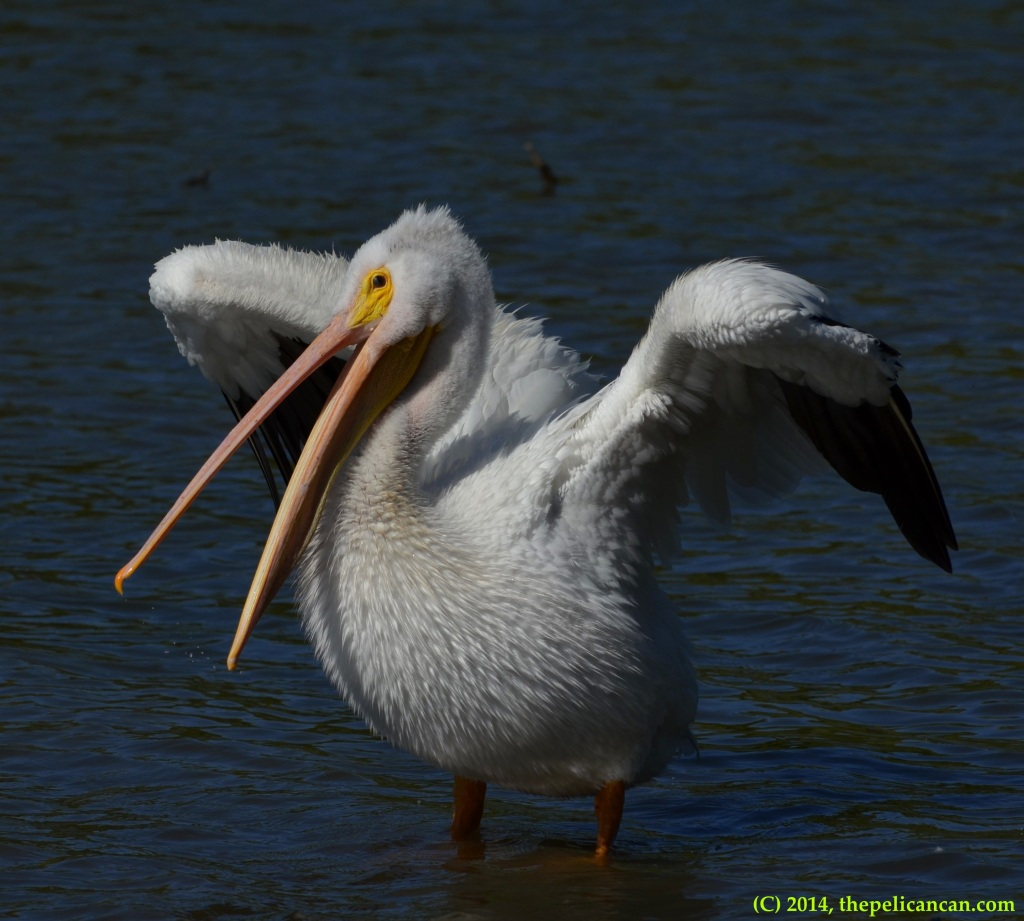 American white pelican finishes flapping at White Rock Lake in Dallas, TX