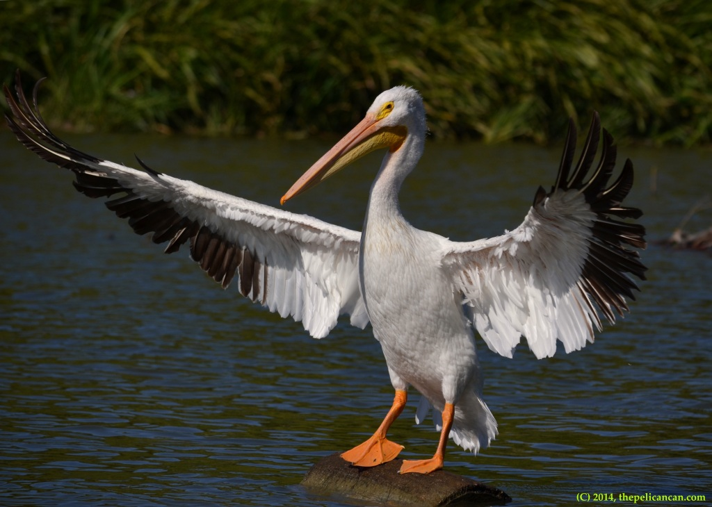 American white pelican (Pelecanus erythrorhynchos) flaps while standing on a log at White Rock Lake in Dallas, TX