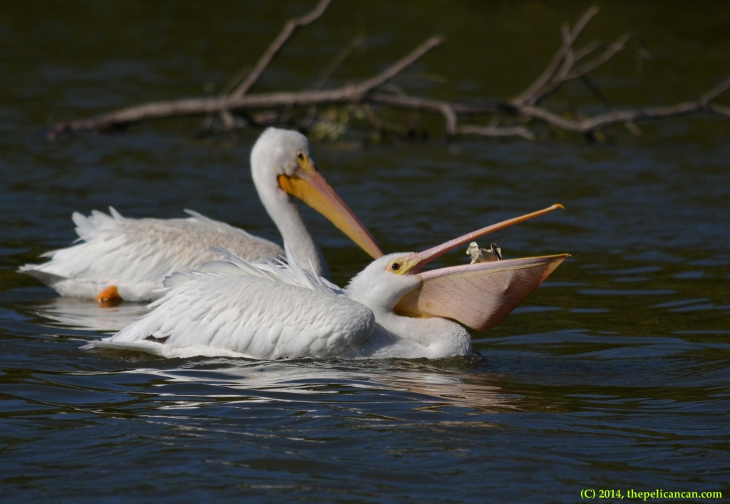 Juvenile American white pelican (Pelecanus erythrorhynchos) plays with a crumpled piece of trash at White Rock Lake in Dallas, TX