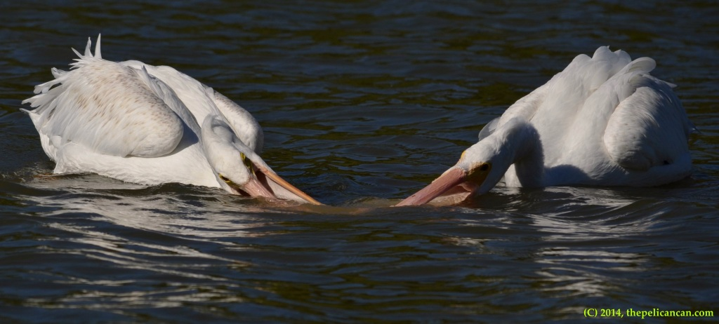 Two American white pelicans (Pelecanus erythrorhynchos) try to play with a soda bottle at White Rock Lake in Dallas, TX