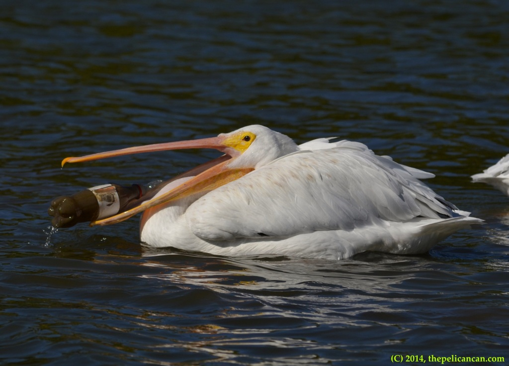 American white pelican (Pelecanus erythrorhynchos) plays with a soda bottle at White Rock Lake in Dallas, TX