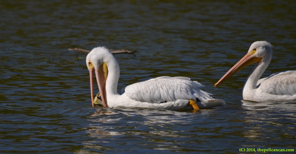 Juvenile American white pelican (Pelecanus erythrorhynchos) plays with a beer can at White Rock Lake in Dallas, TX